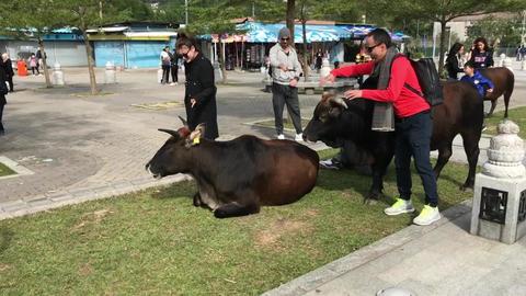 Hong Kong, China, November 20 2016: A person standing next to a cow Live Action