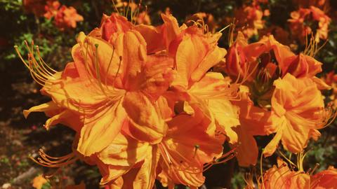 Orange flowers blossom in summer garden, flowers in bloom, floral and nature Acción en vivo