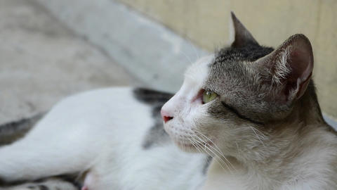 White and gray Street cat relaxing on terrace Live Action