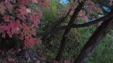 Slow rise viewing river through tree with red leaves Live Action