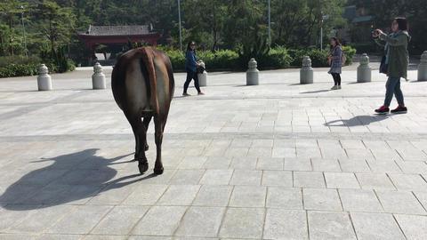 Hong Kong, China, November 20 2016: A person riding a horse on a city street Live Action