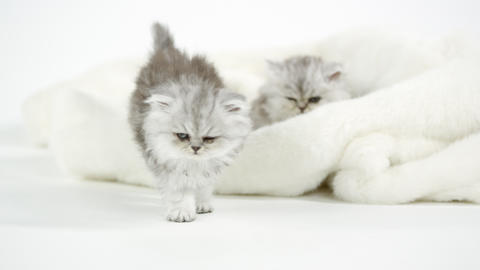 Two cute fluffy kittens on white blanket Live Action