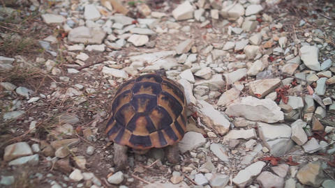 A small land tortoise crawls on a rocky terrain. The tortoise creeps into the Live Action