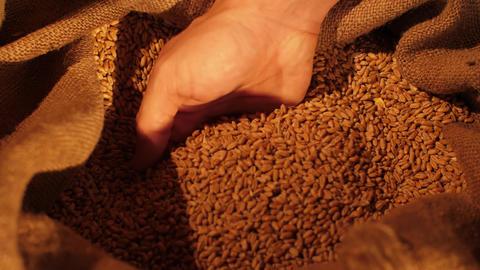 Hand takes a wheat grains from a sack Acción en vivo