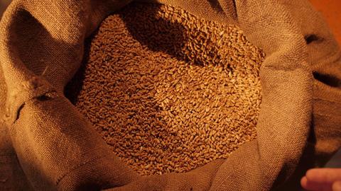 Wheat grains in a hands of a farmer Acción en vivo