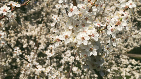 Blooming apple tree in green botanical garden, white flowers in bloom, nature Live Action