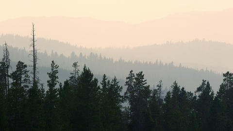 Layer of pine tree forest fading in the distance Live Action