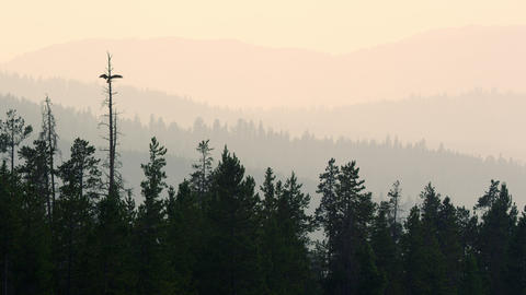 Osprey landing in tree viewing layers across the horizon Live Action