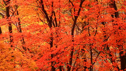 Red Maple leaves Footage
