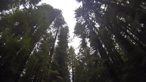 Looking Up at Redwood Trees Footage