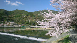 Cherry blossoms by the river, Kyoto, Japan Footage