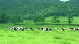 Grazing Cows, Hokkaido, Japan Footage