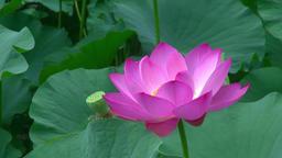 Lotus Footage
