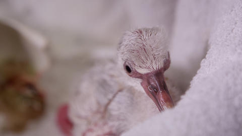 Close view of baby flamingo on towel after hatching Live Action