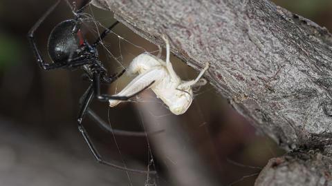 Grass hopper stuck in Black Widow spider web Live Action