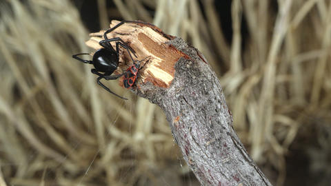 Black Widow Spider wrapping webs around Fire Beetle Live Action