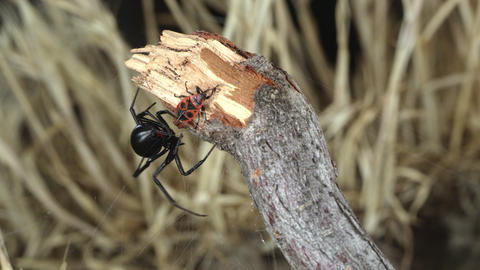 Black Widow Spider catching and wrapping webs around Fire Beetle Live Action