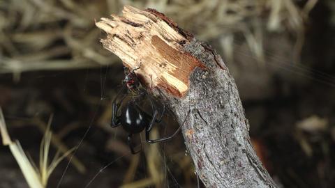 Black Widow Spider spinning web around Fire Beetle Live Action