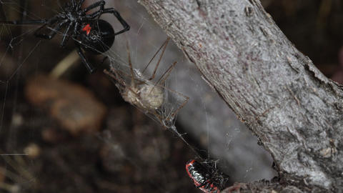 Black Widow Spider collecting its prey stuck in web Live Action