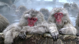 Monkeys at Jigokudani Monkey Park, Nagano Prefecture, Japan Footage