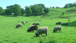 Grazing sheep Footage