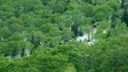 Beech forest, Aomori Prefecture, Japan Footage