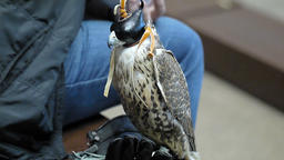 Falconer with his falcon with hood falconer close on the backstage of fashion we
