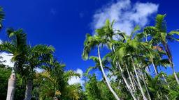 Palm trees and blue sky, Ogasawara Island, Japan Footage