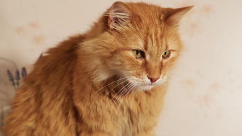 cute adult ginger cat sitting and looking at the camera Live Action