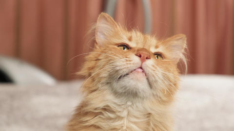 cute adult red cat sits and looks up. Playful pet, close up, indoor shooting Live Action