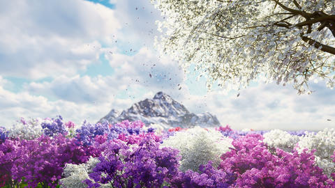 A sakura blooms in spring on the background of mountains and fields of flowers. Travel and Animation