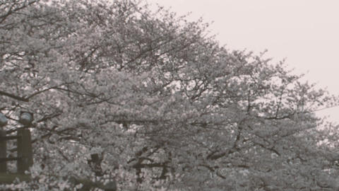 Cherry Blossoms_fukuoka Live Action