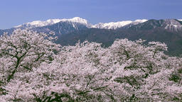 Cherry blossoms and mountainscapes, Nagano Prefecture, Japan Footage