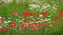 Flower field in Yamagata Prefecture, Japan Footage