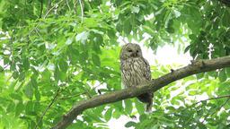 Ural Owl Footage