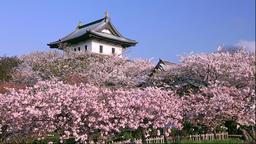 Cherry blossoms at Fukuyama Castle, Hokkaido, Japan Footage