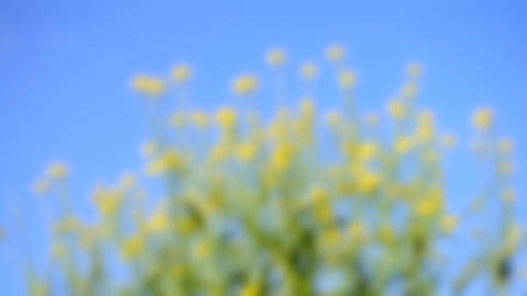 Blurred background. Small yellow flowers against the blue clear sky, HD 1080 Live Action