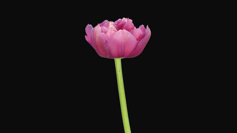 Time-lapse of opening pink tulip, 4K with ALPHA channel GIF