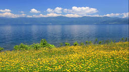 Catsear flowers at Lake Toya, Hokkaido, Japan Footage