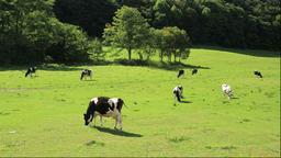 Cattle ranch in Hokkaido Footage
