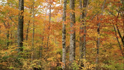 Beech forest of autumn leaves in the Shirakami-Sanchi forest in Akita Prefecture Footage