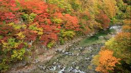 Autumn leaves at Minase river, Oyasu Gorge, Akita Prefecture, Japan Footage
