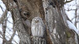 Ural Owl, Hokkaido, Japan Footage