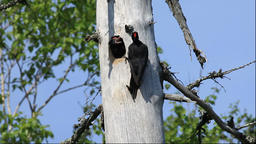 Black Woodpecker parent and chick in Hokkaido Footage