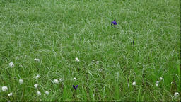 Japanese iris and tussock at Minamihama Wetlands, Rishiri Island, Hokkaido, Japa Footage