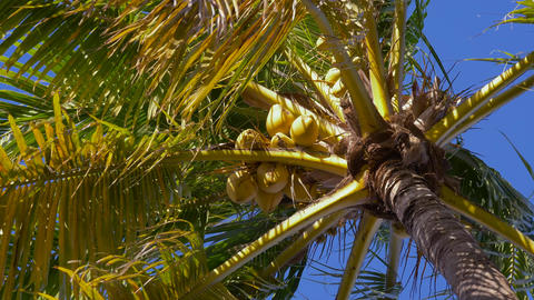 Bottom view of a coconut palm tree, close up view Live Action