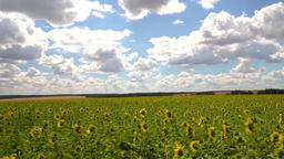 Horizontal panorama of the rural landscape, fields of sunflower and blue sky Live Action