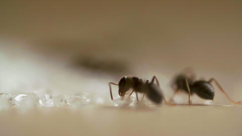 Ants eating sugar on woods table in the kitchen ライブ動画