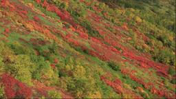 Autumn leaves near Ginsendai in the Daisetsuzan National Park in Hokkaido Footage