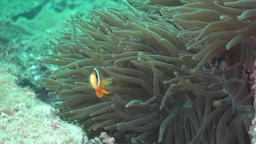 Anemone Fish Footage